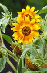 Sonnenblume Zweifarbig