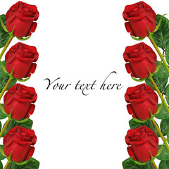 red roses on white background card or invitation, space for text