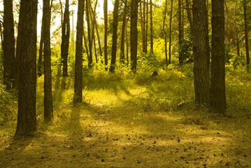 Sunlit pine forest