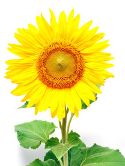 Fotobehang Zonnebloem sunflower against white background