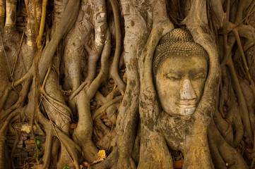 stone budda head in the tree roots