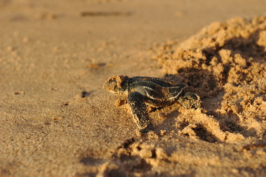 Baby Leatherback sea turtle crawling up the beach into the ocean