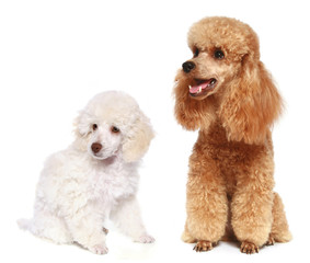 Wall Mural - Toy and small poodle