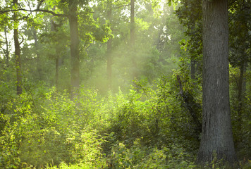 Morning summer forest
