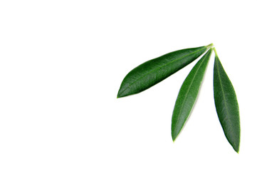 olive tree leaves