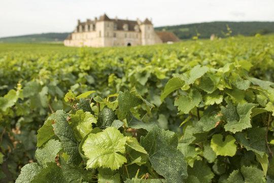 Vineyard, Clos de Vougeot. Bourgogne. France.
