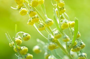 Absinthe flowers. Soft focus