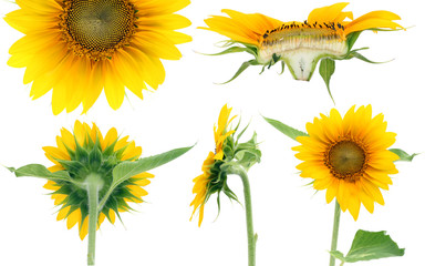Five projections of sunflower