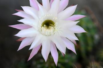 pianta grassa fiori 785