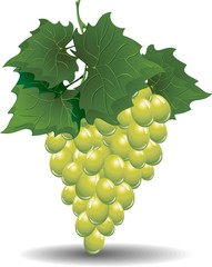 Grappolo di Uva Bianca-White Grape fruit-Vector