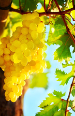 Closeup on grape