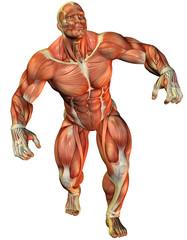 Wall Mural - Muskelaufbau eines Kraftsportlers