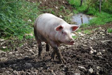cochon 3