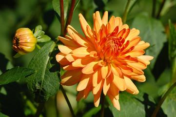 Orange Dahlie mit Knospe und Blätter