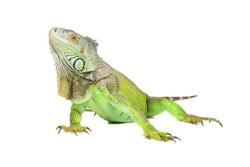 Green iguana, common iguana, isolated on a white background