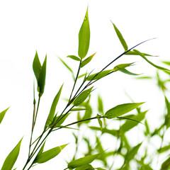 image d'un bambou vert sur fond blanc - nature