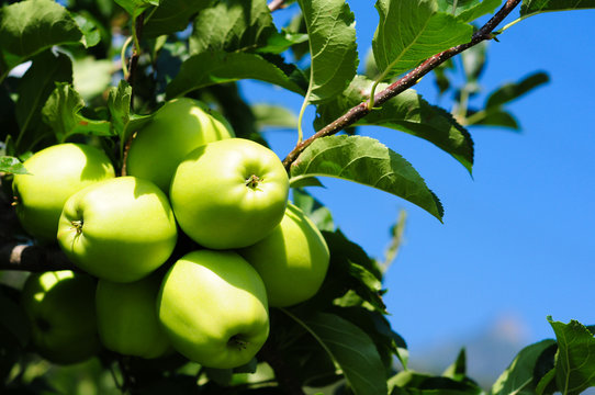 Apfelbaum #1