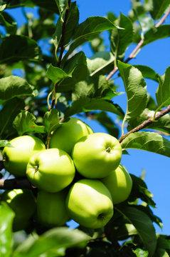 Apfelbaum #2