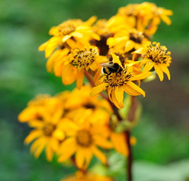Bumble-bee on a flower
