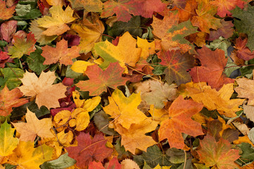 Colourful autumn leaves