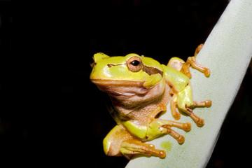 Green Tree Frog (Hyla arborea)