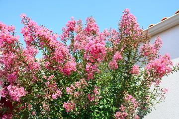 grand lilas des indes