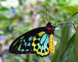 Colourful buttery - Richmond Birdwing