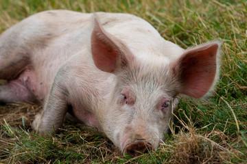 schlafendes Haus-Schwein