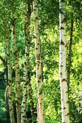 Spoed Foto op Canvas Berkbosje Birken