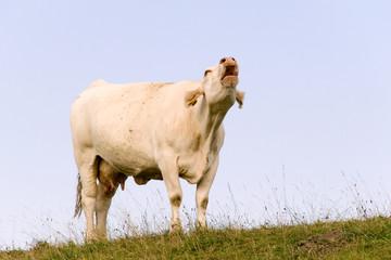 brüllende Kuh