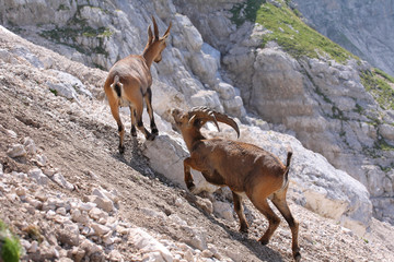 Alpine ibex ((Capra ibex), young buck and doe
