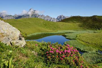Fototapete - Alpenrosenblüte in den Bergen