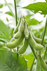 soy bean plant