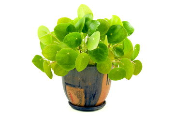 """house plant """"pilea"""" isolated on white background"""