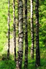 Spoed Foto op Canvas Berkbosje Birkenwald im Sonnenlicht 2