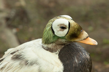 spectacled eider duck 8616