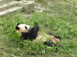 Panda se reposant