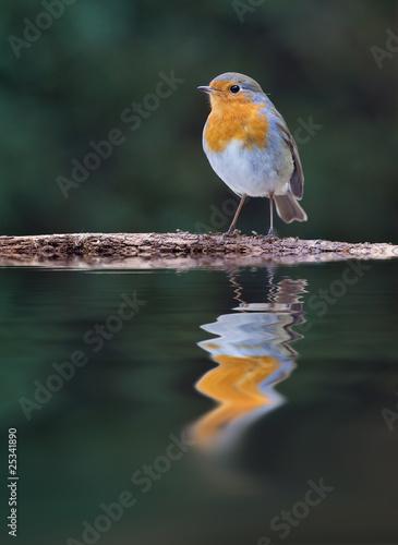 Rouge gorge oiseau reflet commun farouche plume photo for Oiseau commun