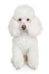 Wall Mural - White poodle puppy