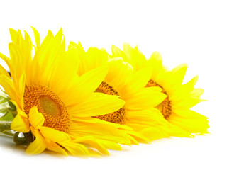 Three sunflowers isolated on white background