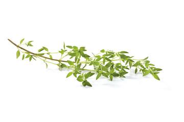 Fresh Basil twig
