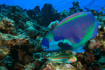 Steepheaded Parrotfish (Chlorurus gibbus)