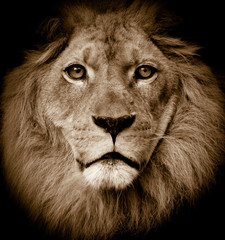Lion portrait