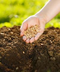 Fototapeta Corn sowing by hand obraz