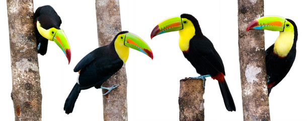 Wall Mural - Keel Billed Toucans, from Central America. Isolated on White.