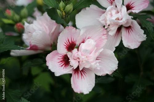 straucheibisch hibiscus syriacus duc de brabant. Black Bedroom Furniture Sets. Home Design Ideas