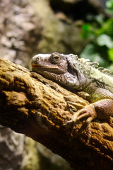 Iguana on the tree