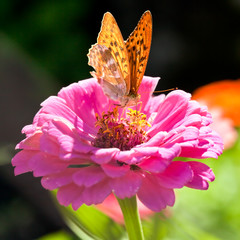 Silver Washed Fritillary - Argynnis Paphia Butterfly