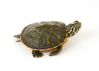 Baby Turtle isolated against a white background