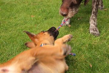 Zerrspiele zwischen zwei Hunden